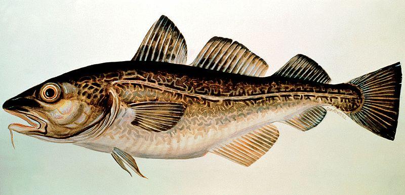for første gang trækker torsk i land